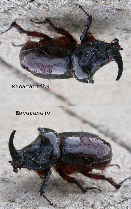 Escarabajo y escararriba